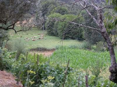 rebanhos de ovelhas pastam nas proximidades